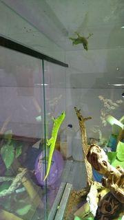 Gecko paar mit