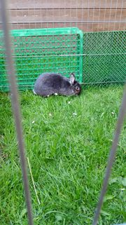 Kastrierter Kaninchenbock