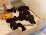 Labrador-Welpen aus