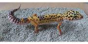 leopardgecko Nachzuchten 2017