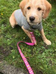 Welpe Cocker-Terrier-