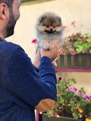 Süße Pomeranian Rüde