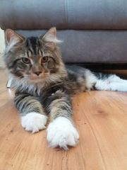 Deckkater Maine Coon in XL