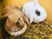 Hasen Kaninchen Widder männlich weiblich