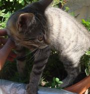 Sehr schöne Katzenbabys Bengal Mix