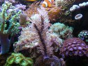 Gorgonie plexaurella 2 Arten Karibik