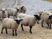 reinrassige Shropshire Schafe